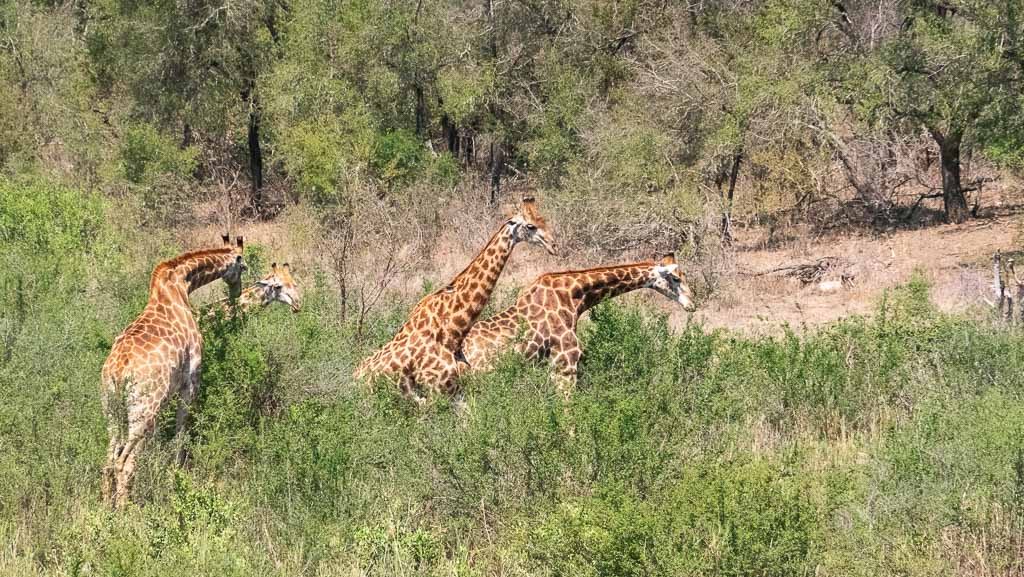 Giraffes on our Safari in Kruger National Park South Africa