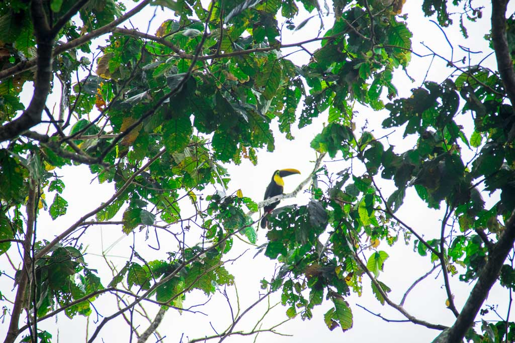 Tucan in the trees in Monteverde