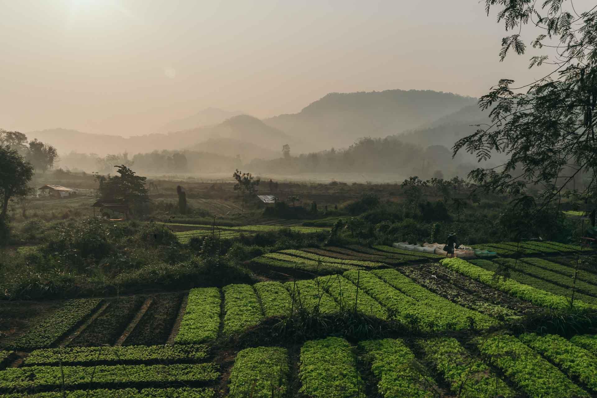 Luang Prabang Tea Farms