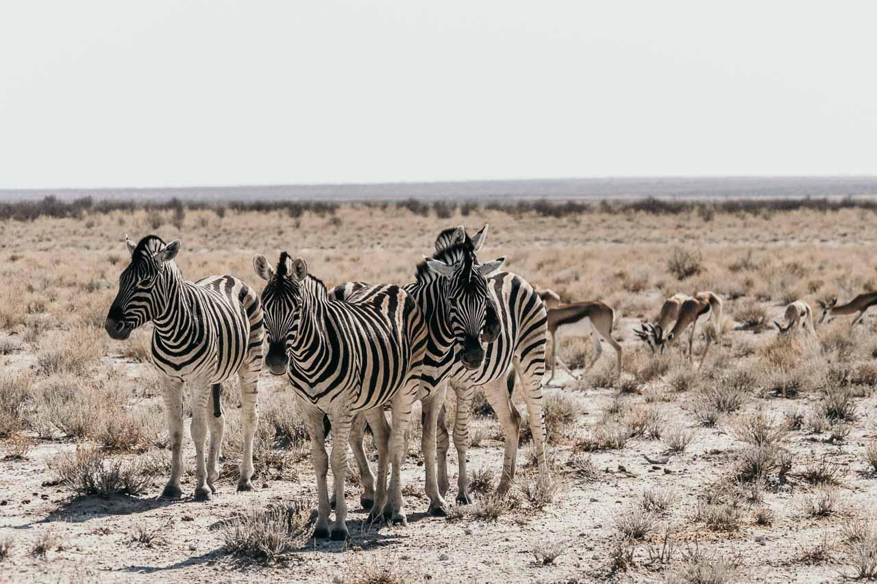 Zebra's on a Safari in Etosha
