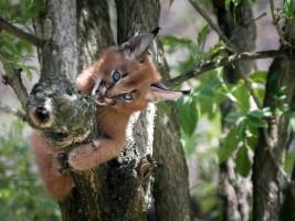 Návštěvníci zoo se během hlavní sezony mohou těšit na dvě geparďata a tři koťata karakalů. Foto (c) Simona Jiřičková