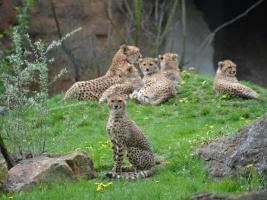 patercata-gepardu-jsou-jarnim-hitem-kralovedvorske-zoo