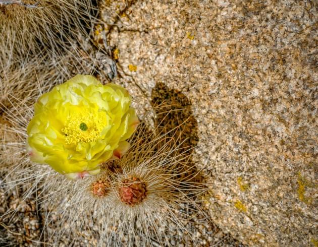 desert-flower8366