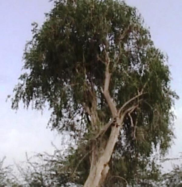 Jitamitra Vruksha