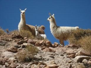 Llamas in Rio Grande - Atacama Desert - Chile