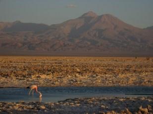 Flamingo watching in the Chaxa Lagoon in the Atacama Desert, Chile