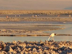 Flamingos on the Chaxa Lagoon in the Atacama Desert, Chile