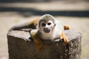 A curious squirrel monkey in the Amazon rainforest in Colombia