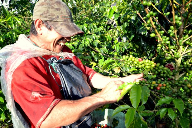 Coffee picking in the Quindio region