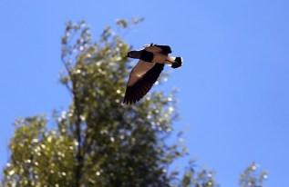 A lapwing bird soars past