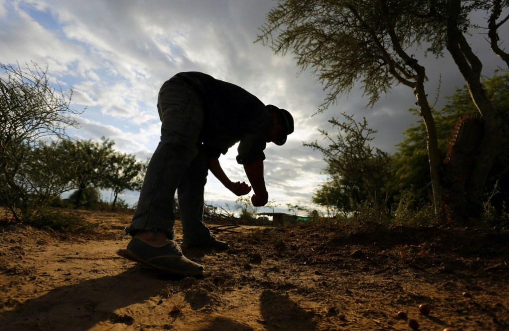 Carmelo collecting some fallen chañar in his grounds