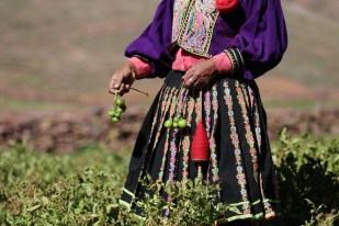 In the fields, the typical quechua dress stands out beautifully, Bolivia