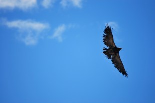 A bird of prey in flight - one of the inhabitants of the beautiful region of Pichi Leufu near Bariloche, Argentina