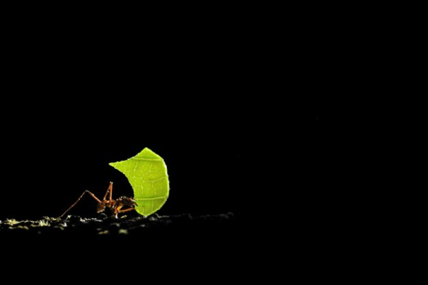 An ant hard at work in the Peruvian Amazon by night