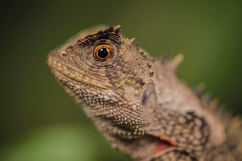 Spotted a Horned forest dragon in the Peruvian Amazon