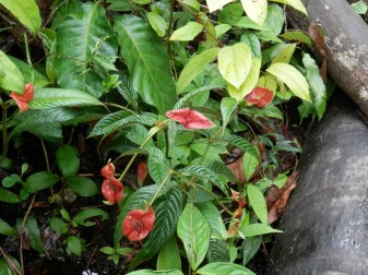Kissing the Hookers Lips Flowers in the Amazon Jungle
