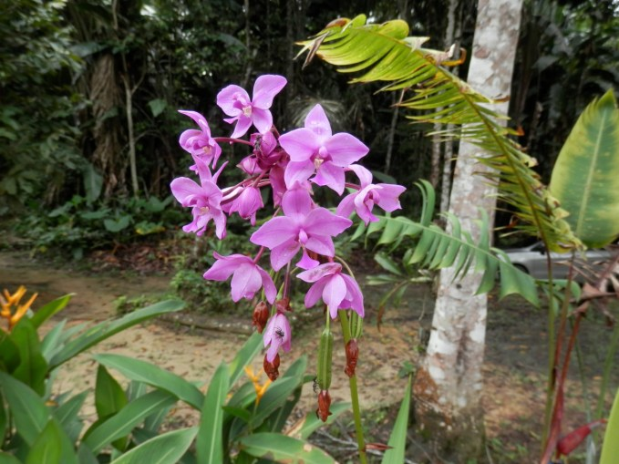 Orchids colouring a local garden in the Amazon in Colombia
