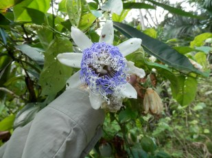 Passion Fruit plant: Delicious fruit and beautiful flower in the Peruvian Amazon