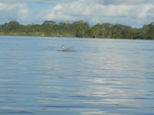 Pink dolphins cruising through the Amazon in Peru