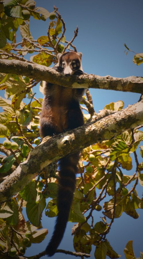 A coati climbing in the trees of the Monteverde Reserve in Costa Rica