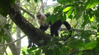 A White-Faced Capuchin Monkey staring directly at the camera in the outskirts of the Monteverde National Park in Costa Rica