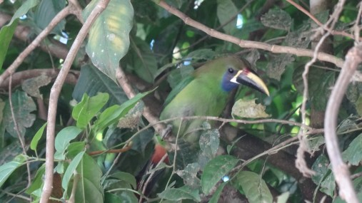 Spotted a Blue-throated Toucanet while birdwatching in the Monteverde Reserve - Costa Rica