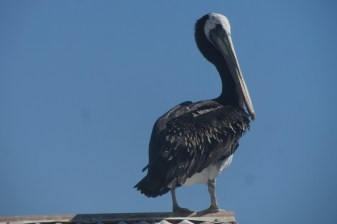 A Pelican with a nice blue sky in the background in Chile