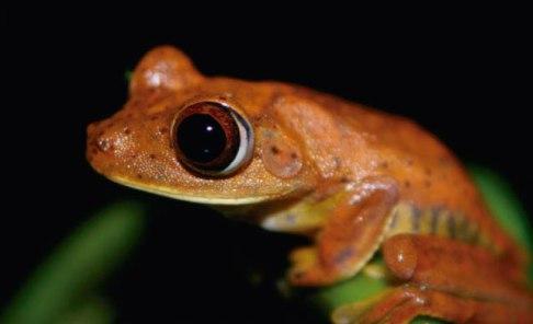 A Red tree frog in the Amazon near Yasuni, Ecuador