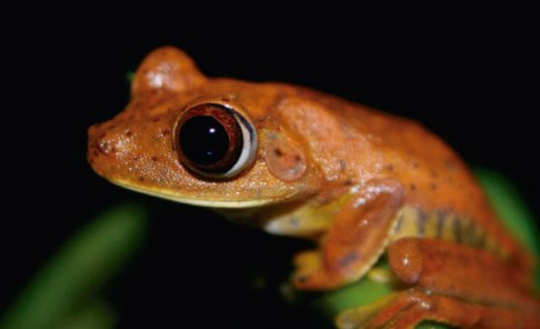 A Red tree frog in the Amazon near Yasuni, Ecuador