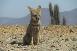 Atacama Desert Fox on the look out, in Chile