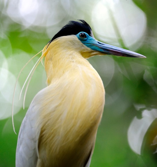 The Majestic Capped Heron in the Yasuni National Park, Ecuador