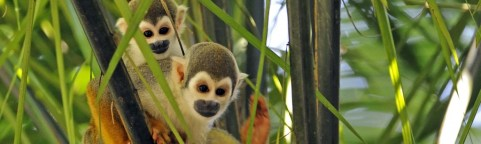 Two stunning Squirrel monkeys in the Yasuni National Park
