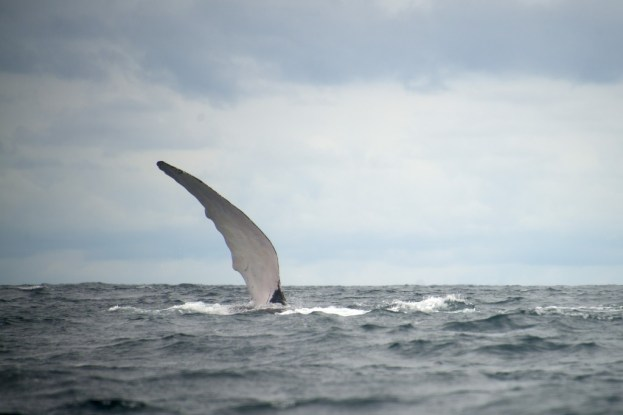 Whale-watching in Bahia Solano, Colombia