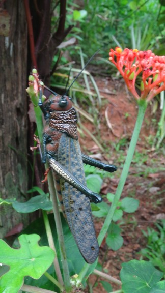 A giant grasshopper in the Corcovado National Park, Costa Rica