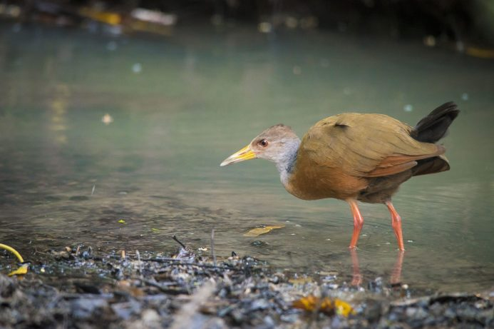 Spotted a grey necked wood rail fishing along the shores of the Amazon river, while wildlife watching in Colombia