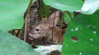 A baby deer spotted between the leaves in the Corcovado National Park, Costa Rica