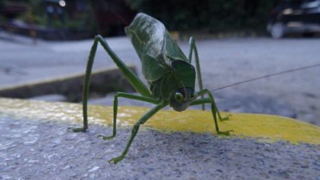 A grasshopper up close on the parking lot of the Monteverde National Park, Costa Rica