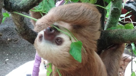 Feeding the sloths in the Sloth Sanctuary near Puerto Viejo, Costa Rica