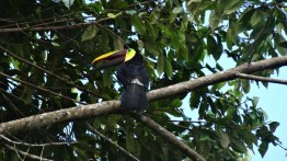 Found a Chestnut Mandibled Toucan in the trees of the Manuel Antonio National Park, Costa Rica