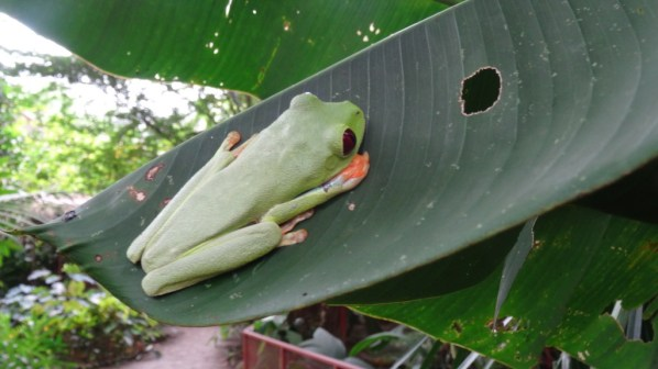 Spotted on a leave a red-eyed tree frog in Costa Rica