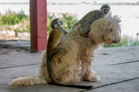 Two playful squirrel monkeys dog back riding in the Colombian Amazon Jungle