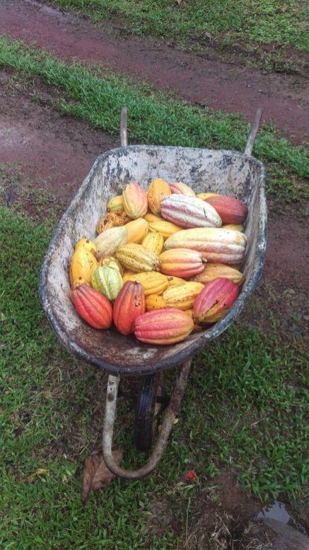 A wheelbarrow full of delicous cacao at Finca Sura, Costa Rica