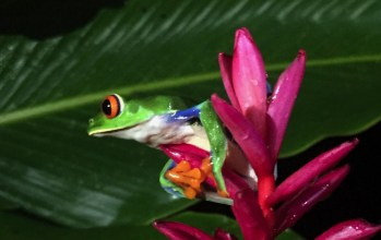 Spotted a Red-eyed tree frog while frog watching in Costa Rica