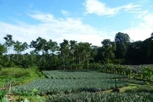 Organic pineapple plantations in Finca Sura, near Sarapiqui, Costa Rica
