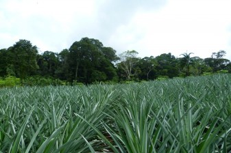 Organic pineapples and rural tourism in Finca Sura, Costa Rica