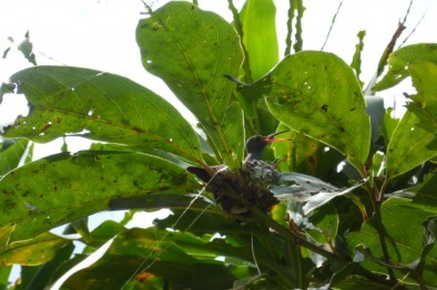 A hummingbird looking after its babies at Finca Rosa Blanca in Costa Rica