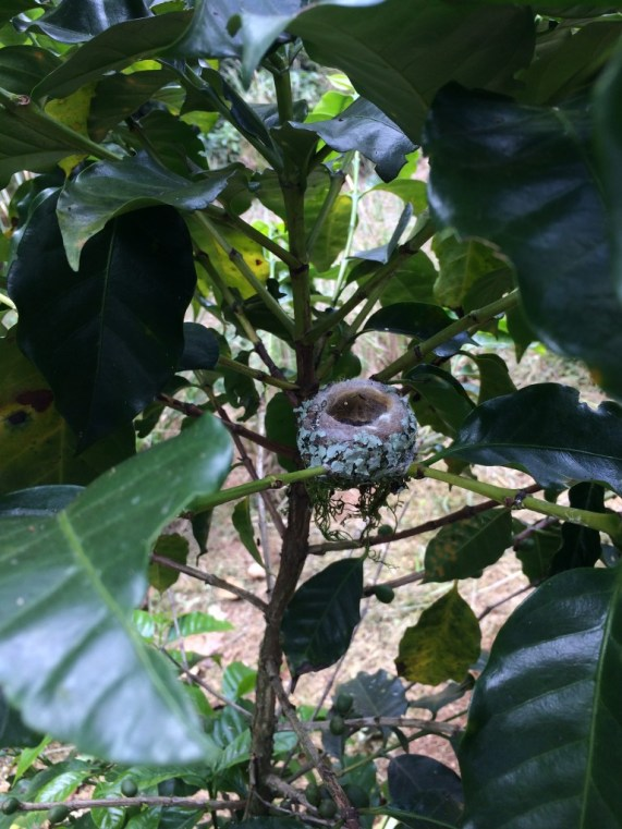 A nicely decorated hummingbird nest at Finca Rosa Blanca in Costa Rica