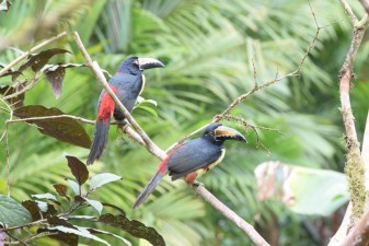 Bird-watching near Rio Celeste in Costa Rica
