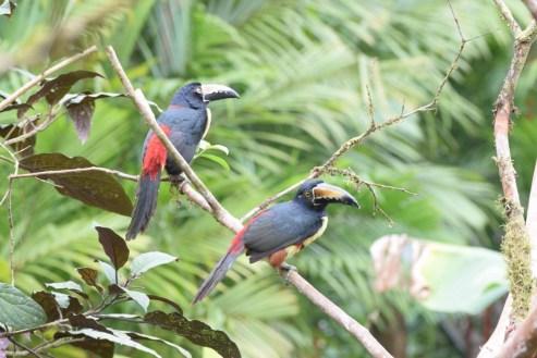 Bird-watching near Rio Celeste in Costa Rica