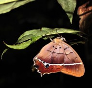 Observing a beautiful butterfly while in a trekking excursion with the Mandari Panga community in the Amazon rainforest